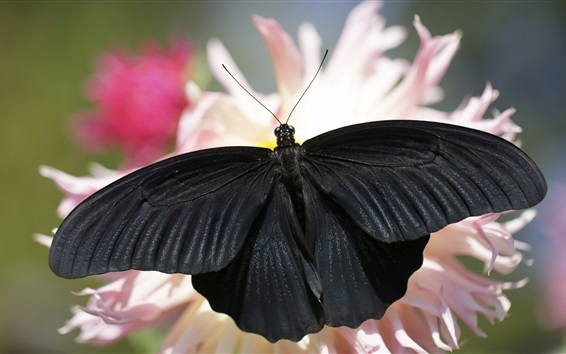 Wallpaper Black butterfly, wings