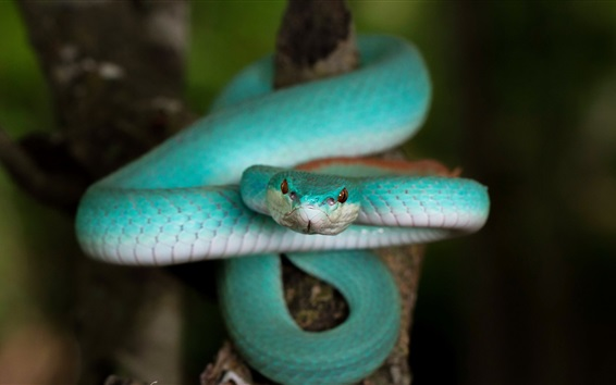 Papéis de Parede Blue Trimeresurus cobra