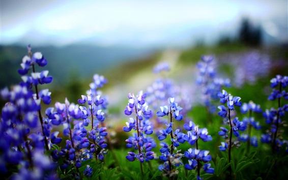 Обои Голубые цветы люпина, боке
