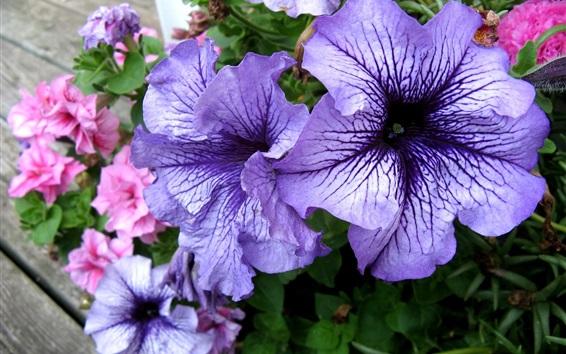 배경 화면 푸른 피튜니아 꽃