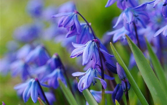Wallpaper Blue primrose flowers, spring
