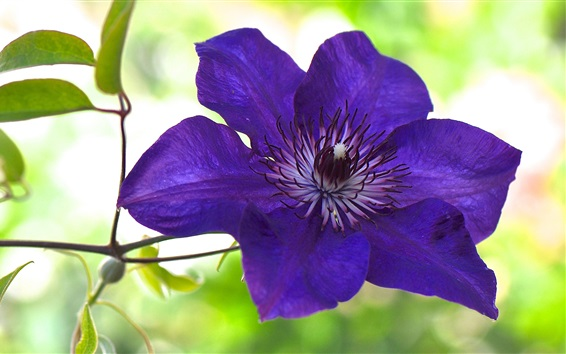 Wallpaper Blue purple clematis flower macro photography