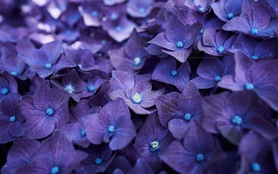 Wallpaper Blue purple hydrangea