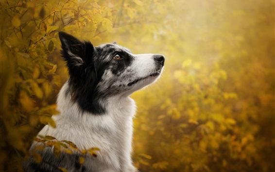 Wallpaper Border collie, dog, look, blurry background