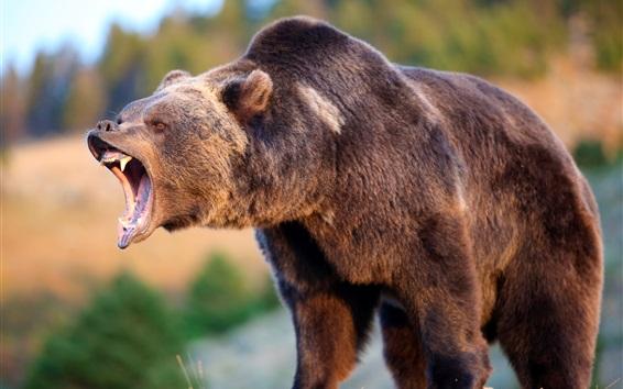Wallpaper Brown bear roar