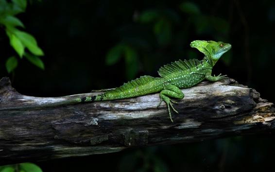 Papéis de Parede Camaleão, lagarto, réptil