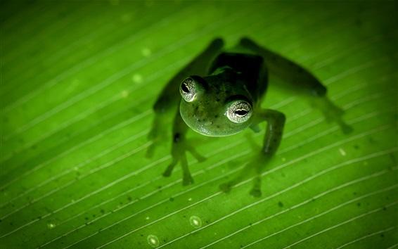 Обои Коста-Рика, амфибия, лягушка, зеленый лист