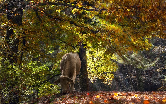 Fondos de pantalla Vaca en el bosque, otoño