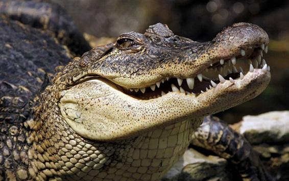 Papéis de Parede Crocodilo, dentes, boca, répteis