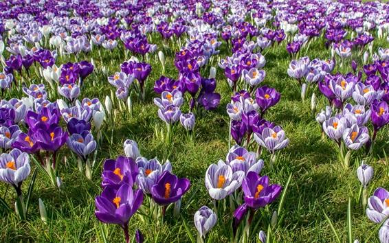Wallpaper Crocuses field, spring
