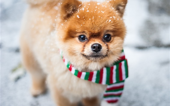 Wallpaper Cute dog front view, face, scarf, snow
