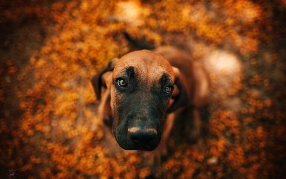 Обои Симпатичная собака смотрит вверх, лицо, боке
