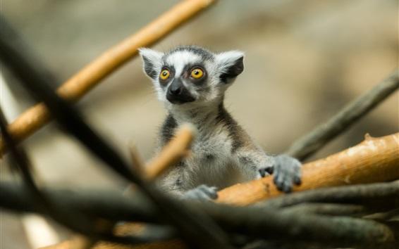 Wallpaper Cute lemur in tree