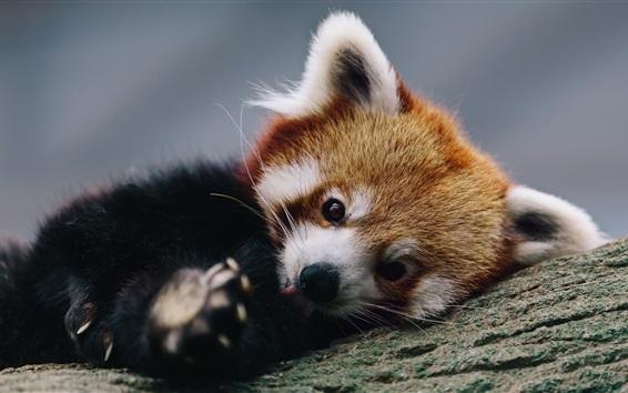 Обои Симпатичная красная панда отдыхает в дереве
