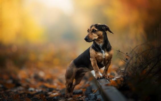 Wallpaper Dachshund, dog, railway