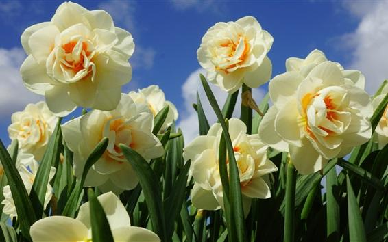 Papéis de Parede Daffodils close-up, primavera, céu