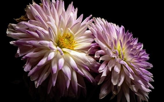 Обои Далия, белые и фиолетовые лепестки, черный фон