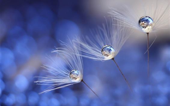 Wallpaper Dandelion, water drops, fuzzes