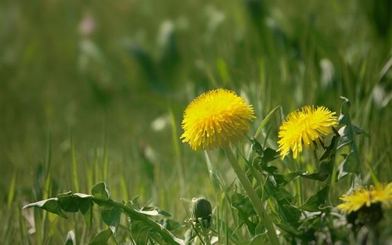 Wallpaper Dandelions, yellow flowers