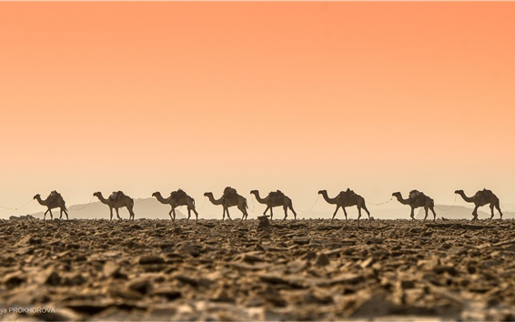 Wallpaper Desert, camels, dawn