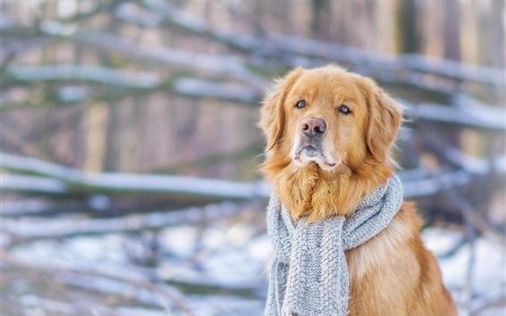 Обои Собака, шарф, вид спереди