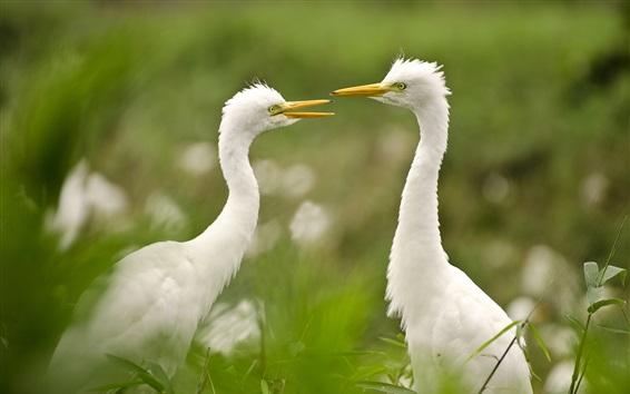 Wallpaper Egret, couple, grass