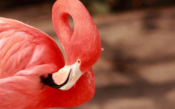 Fond d'écran Flamant rose, plumes rouges, bec, cou