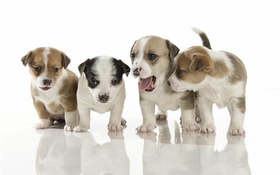 Обои Четыре щенка, на белом фоне