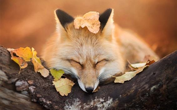 Papéis de Parede Fox dormir, folhas, outono