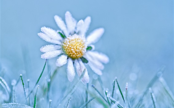 Wallpaper Frost daisy, cold