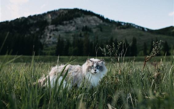 Wallpaper Furry cat walk in grass