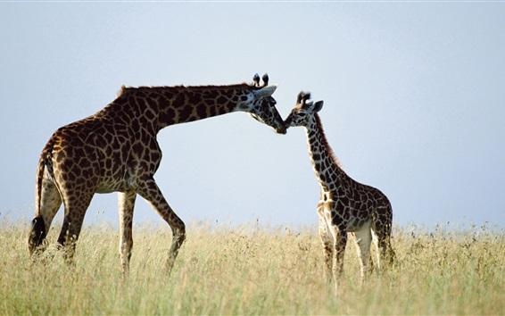 Обои Жираф, пара