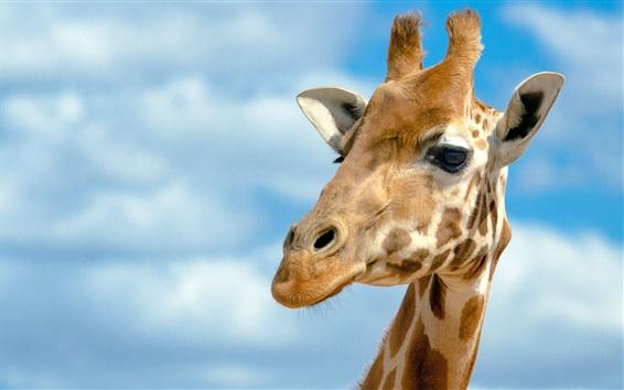 Wallpaper Giraffe head, blue sky