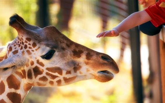 Обои Жираф, голова, рука, зоопарк