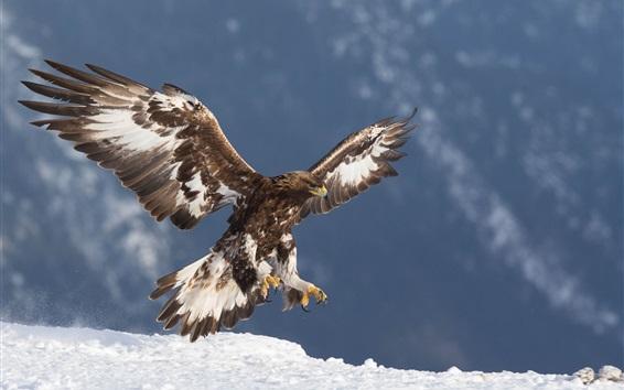 Papéis de Parede Águia dourada, predador, vôo, asas, neve