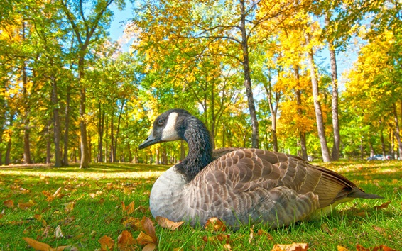 Wallpaper Goose rest in the forest