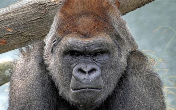 Обои Вид на горилла