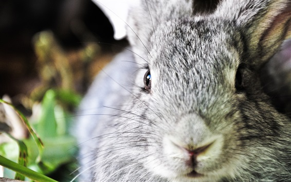 Papéis de Parede Cara de coelho cinza close-up