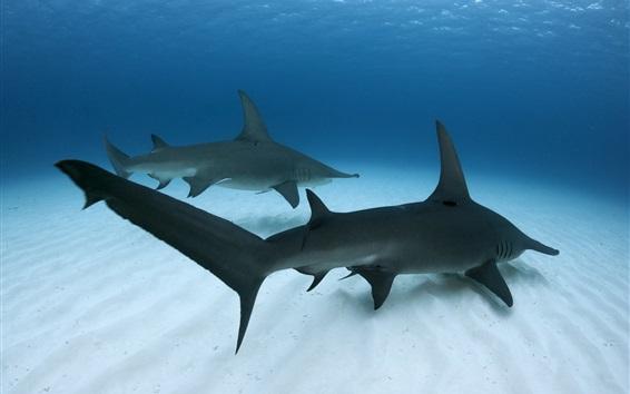 Papéis de Parede Grande Hammerhead Shark, mar, debaixo d'água