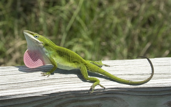 Wallpaper Green lizard climbing