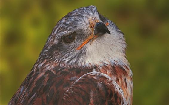 Papéis de Parede Hawk, predador, pássaro
