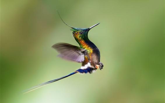 Wallpaper Hummingbird rise flight