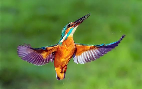 Wallpaper Kingfisher flight, wings, water drops