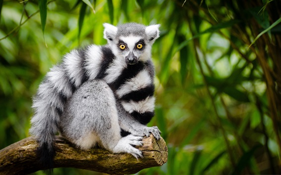 Wallpaper Lemur look at you, white and black stripes
