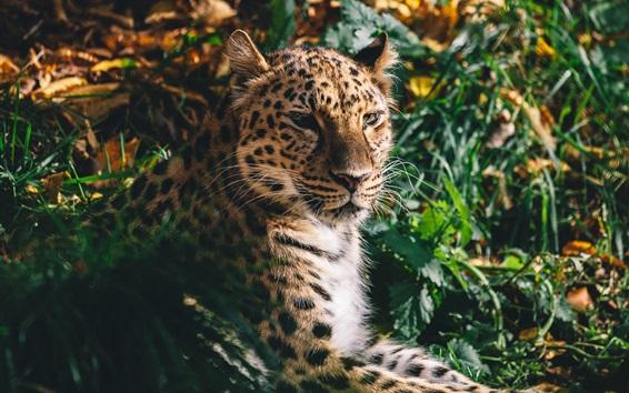 Papéis de Parede Leopard resto, rosto, gato grande, predador, grama