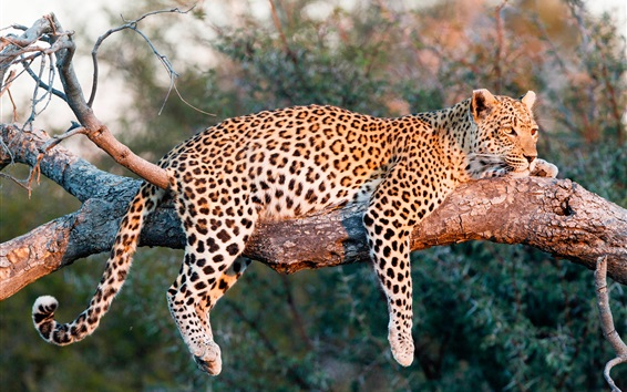 Papéis de Parede Leopard descansa na árvore, luz do sol