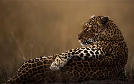 Wallpaper Leopard rest, look back