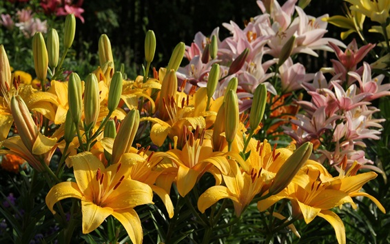 Wallpaper Lily flowers bloom, yellow and pink