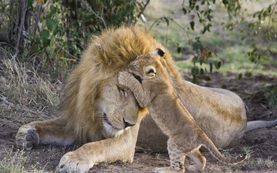 Обои Лев и детеныш, семья, играй