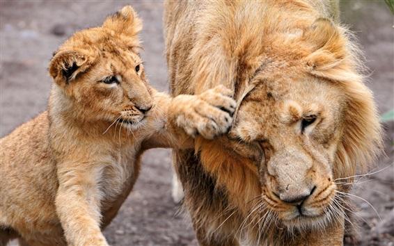 Papéis de Parede Filhote de leão, brincalhão, família